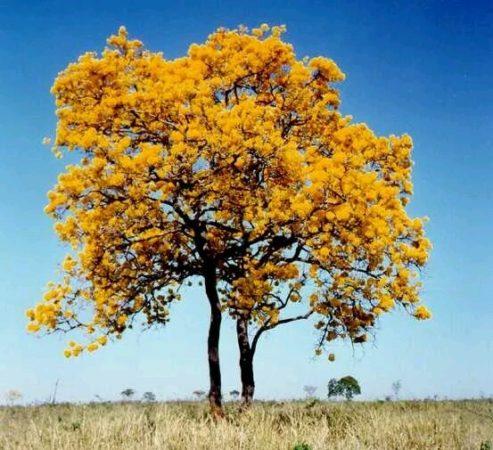 arvore com folhas amarelas