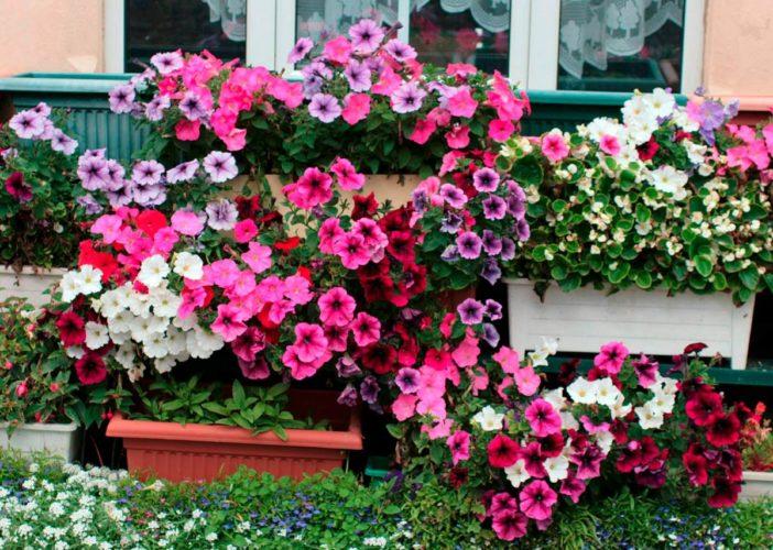 petunias em floreiras