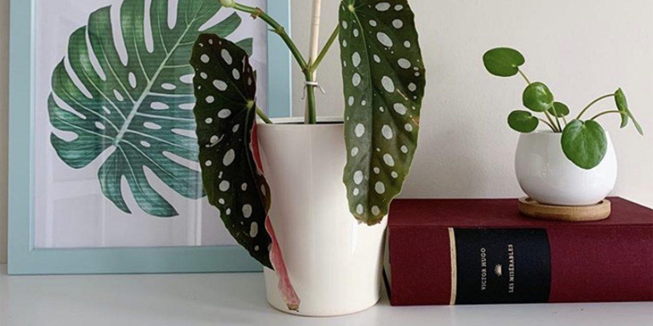 Begônia Maculata: A planta da moda