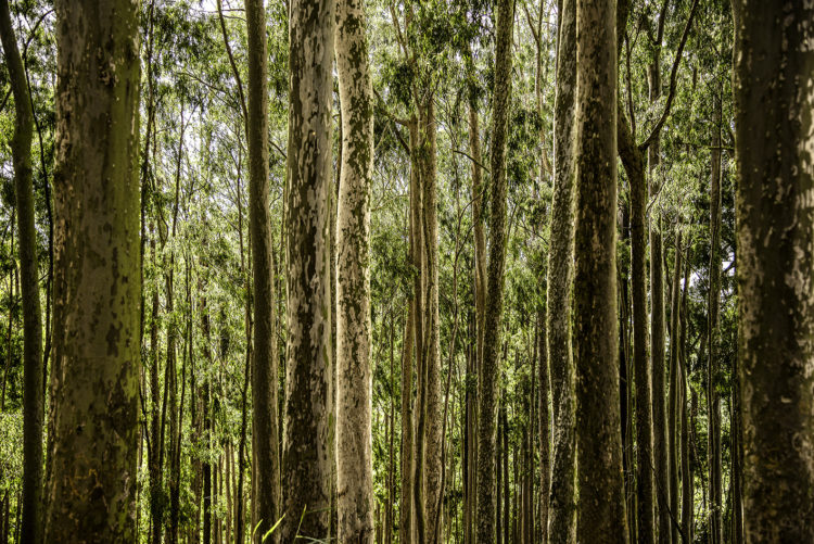 Fotografia de uma floresta, pelo ângulo, se vê mais o meio dos troncos