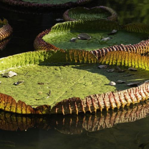 Fotografia da planta Vitoria Régia bem de perto