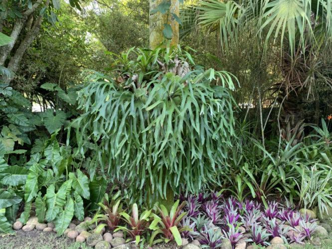 Uma arvore com uma grande planta vulgarmente chamada de Chifre de Veado.