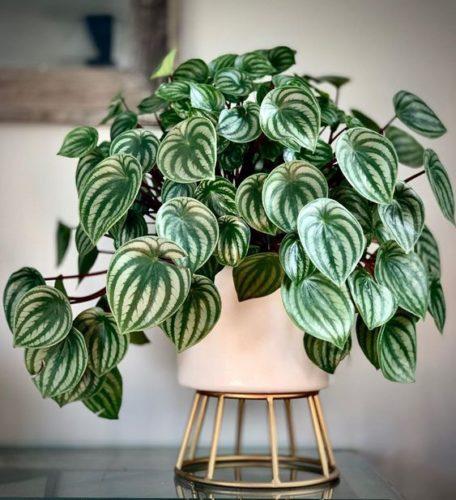 Planta Peperômia em um vaso